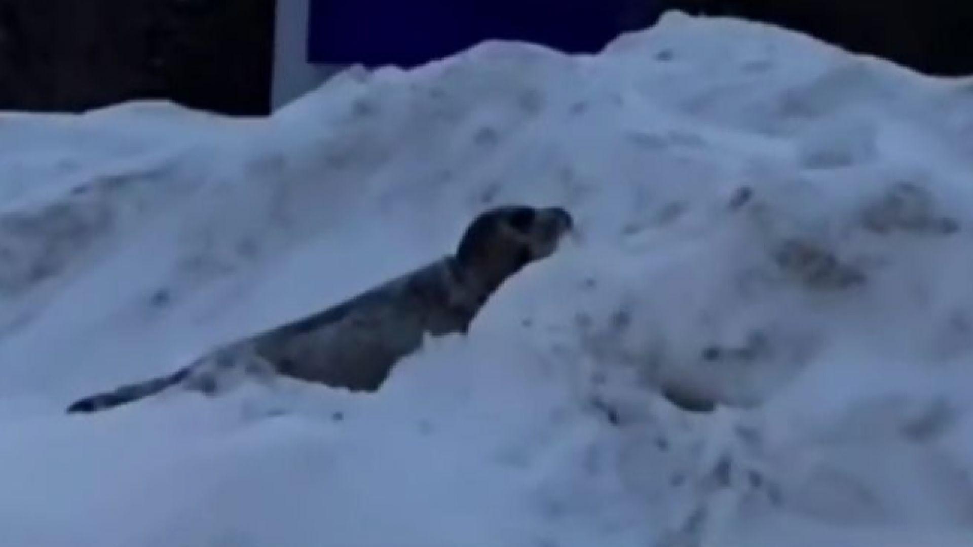Градче беше нападнато от десетки тюлени