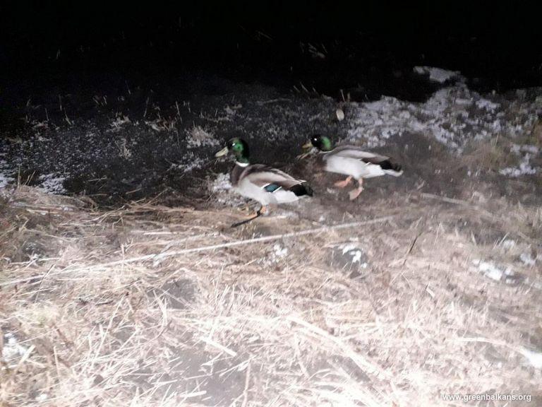 Птиците, завързани от бракониери за примамка