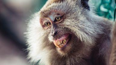 Забавно видео: Японски  маймуни преминават по жиците, за да не се мокрят