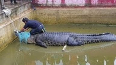 Жена беше убита от гигантски домашен крокодил