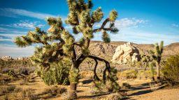 """""""Дървото на Джошуа"""" изчезва заради затоплянето на климата"""