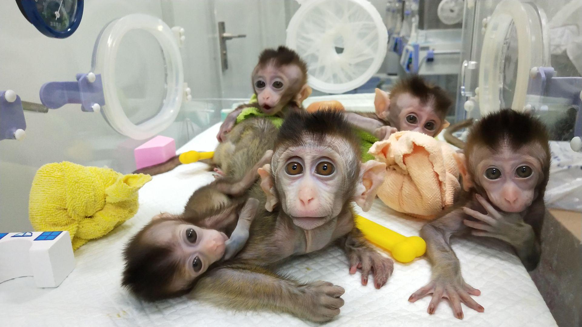Китай клонира пет маймуни с редактирани гени