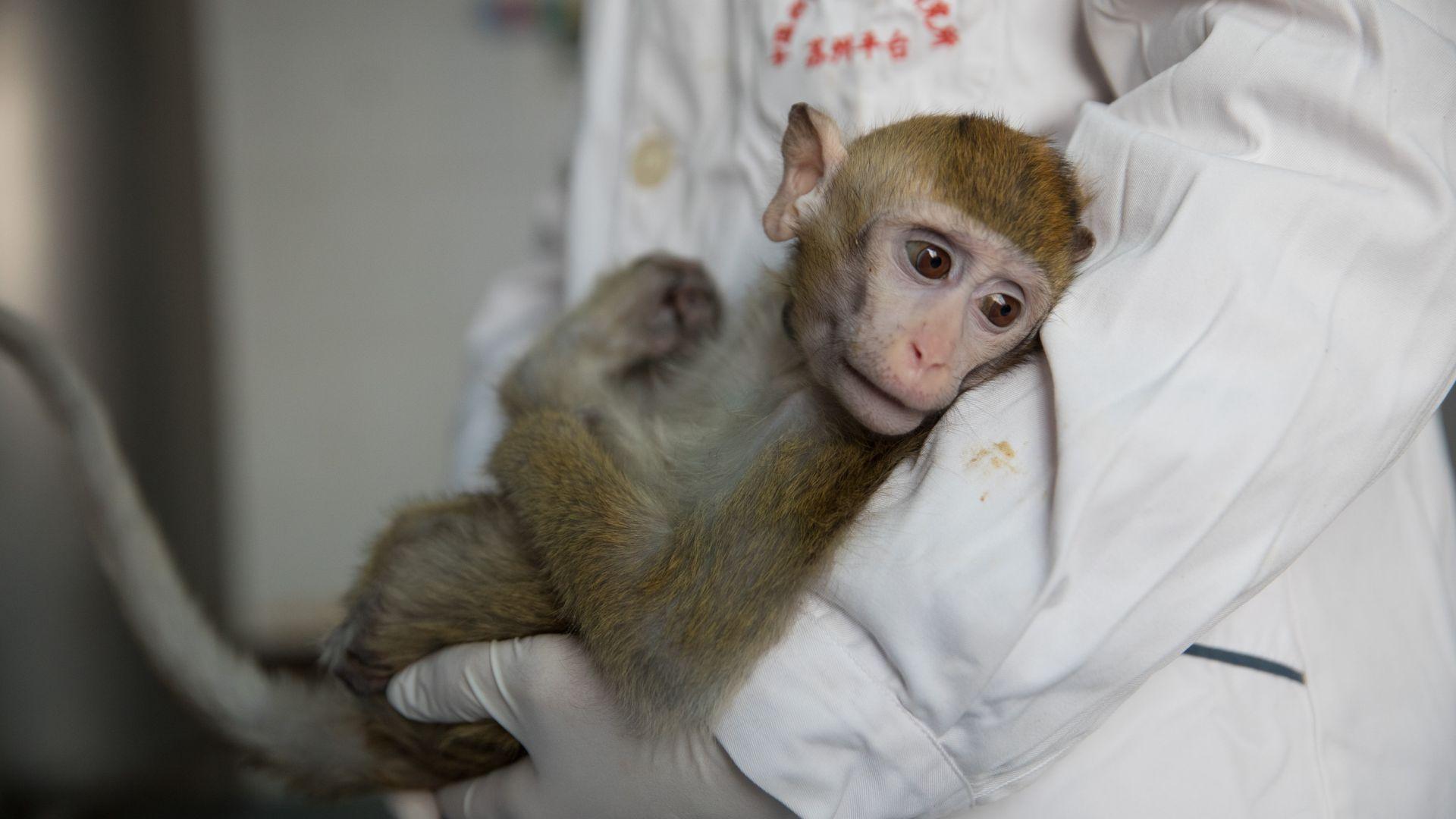 Китайци имплантираха човешки мозъчен ген на маймуни