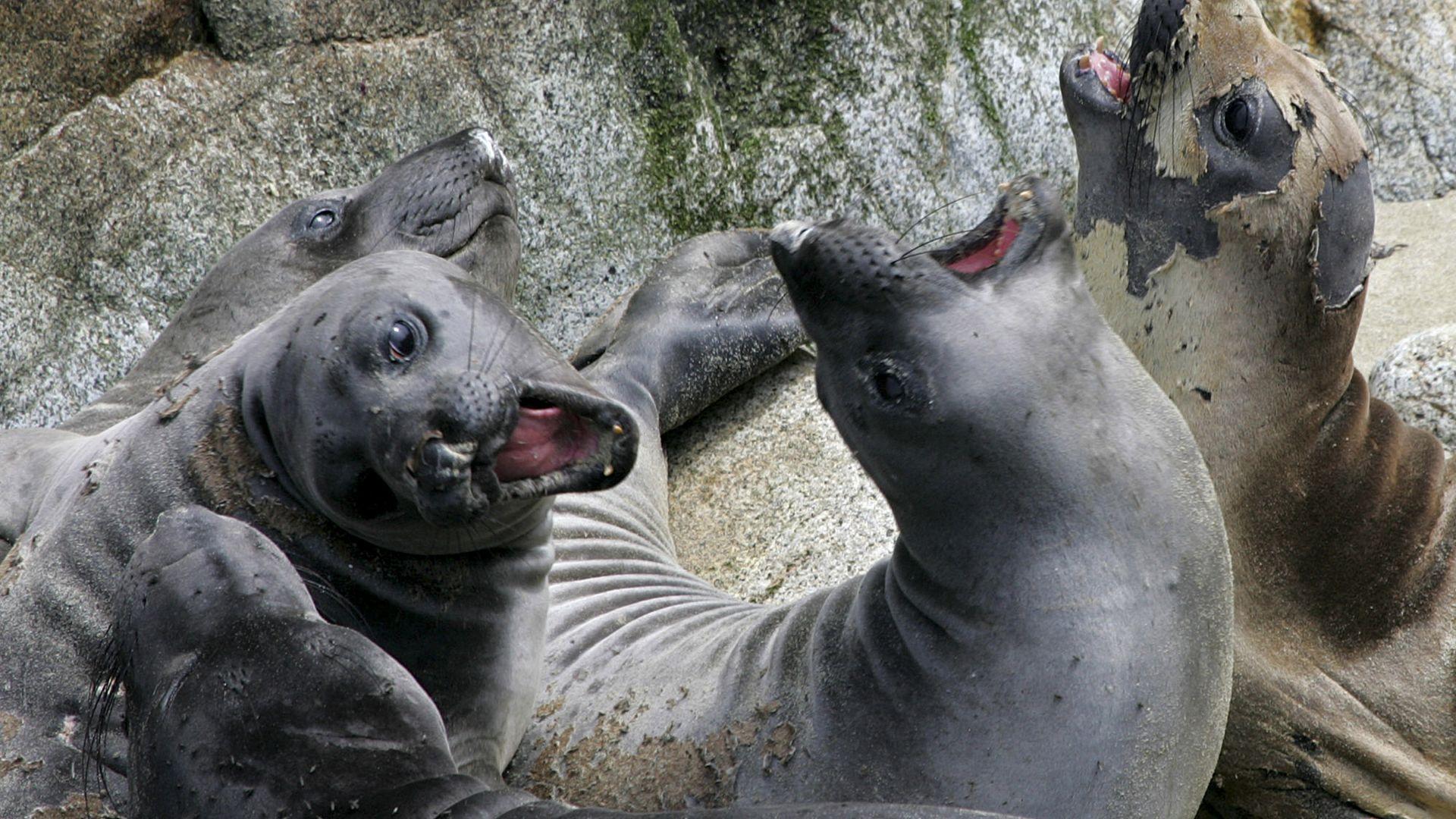 Морски слонове завладяха калифорнийски плаж (видео)