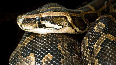 Избягалата змия се оказа боа удушвач