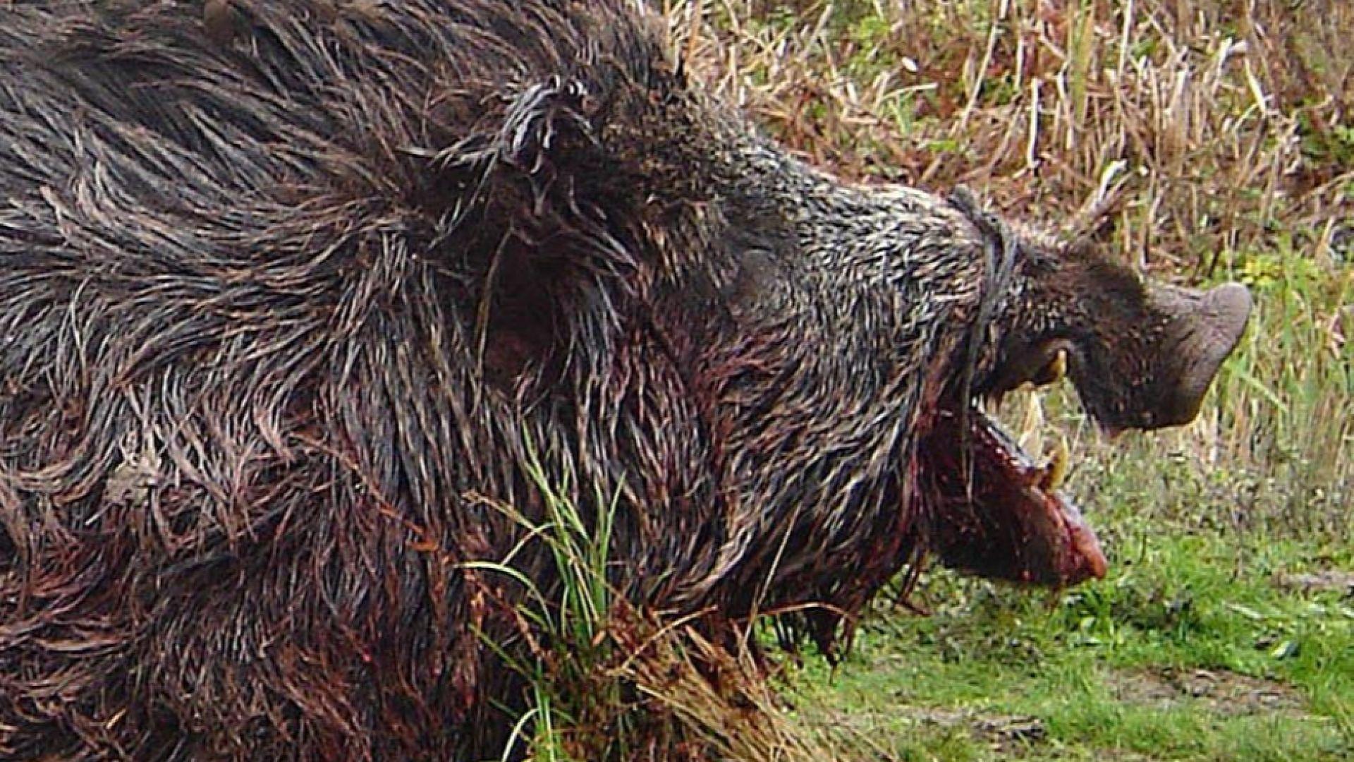 Снимка: Откриха мъртво прасе с африканска чума в габровско