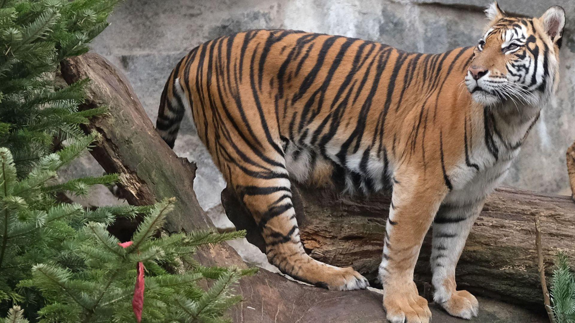 Тигър уби потенциалната си партньорка в британски зоопарк