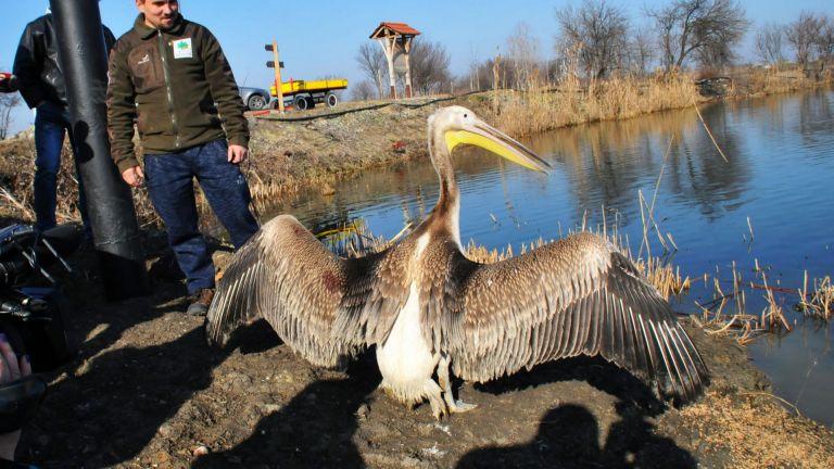 Розов пеликан и още 40 защитени птици бяха пуснати на свобода