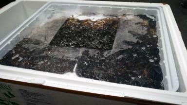 Хванаха пратка с 200 кг скъпи застрашени змиорки на Летище София (снимки)