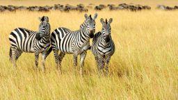 Защо зебрите имат райета