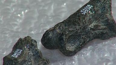 """Учени откриха фосили от """"братовчед"""" на Тиранозавър рекс"""