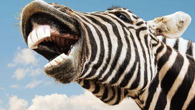 Защо зебрите са на ивици? Любопитен експеримент (снимки)