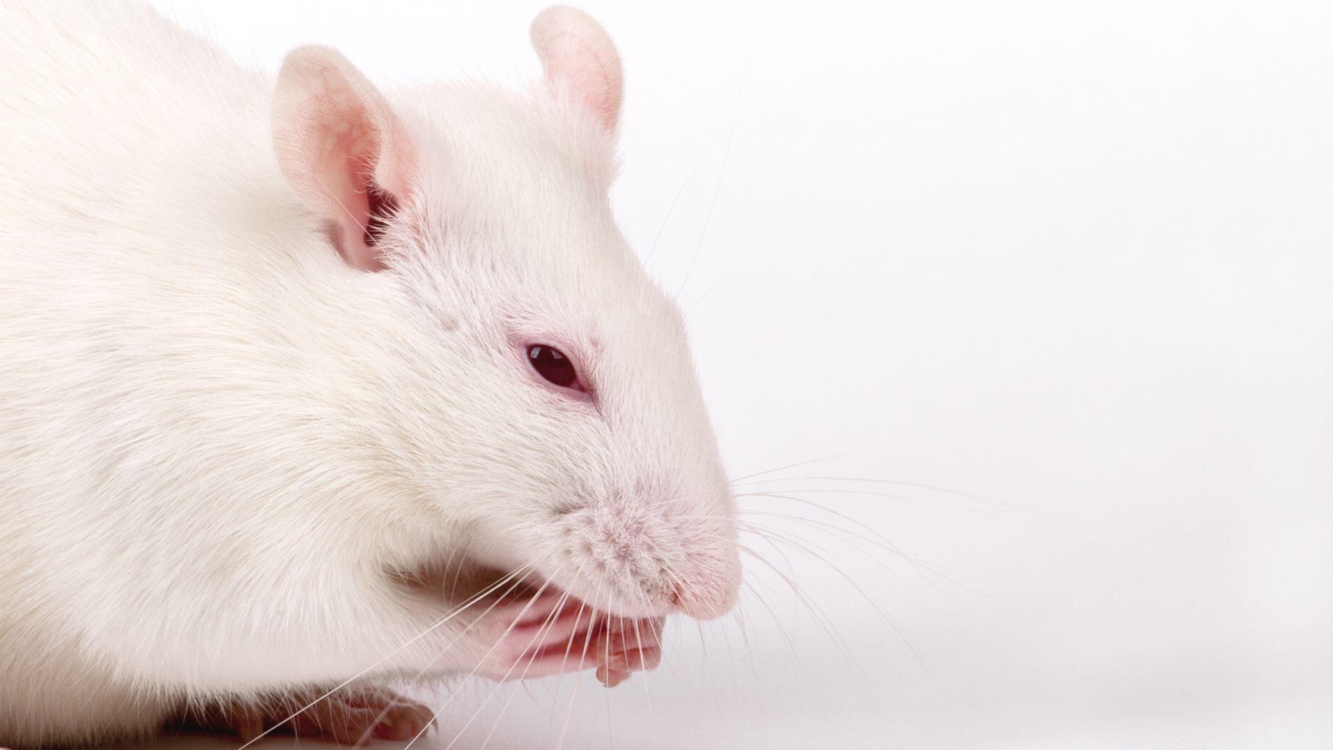 Създадоха мишки с инфрачервено зрение