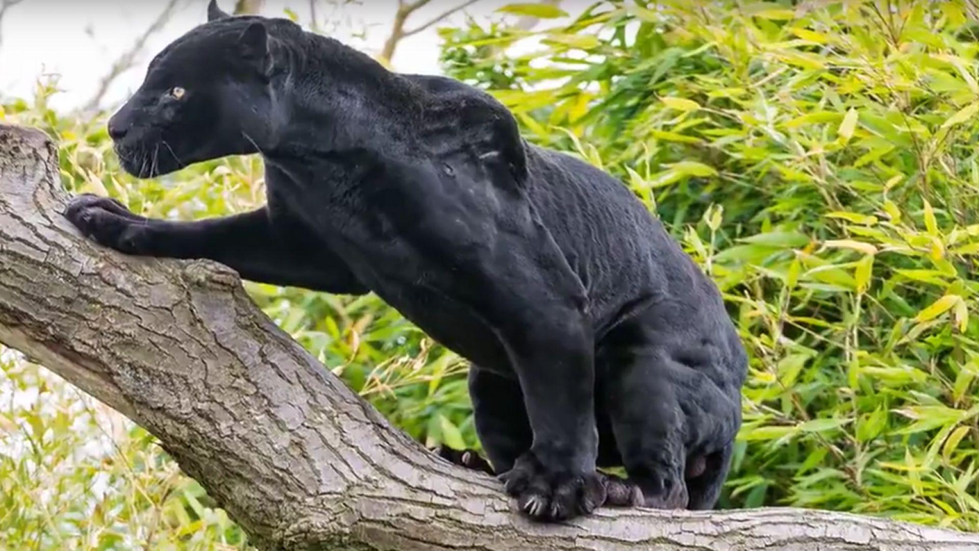 Ягуар нападна селфи-любителка в американски зоопарк (видео)