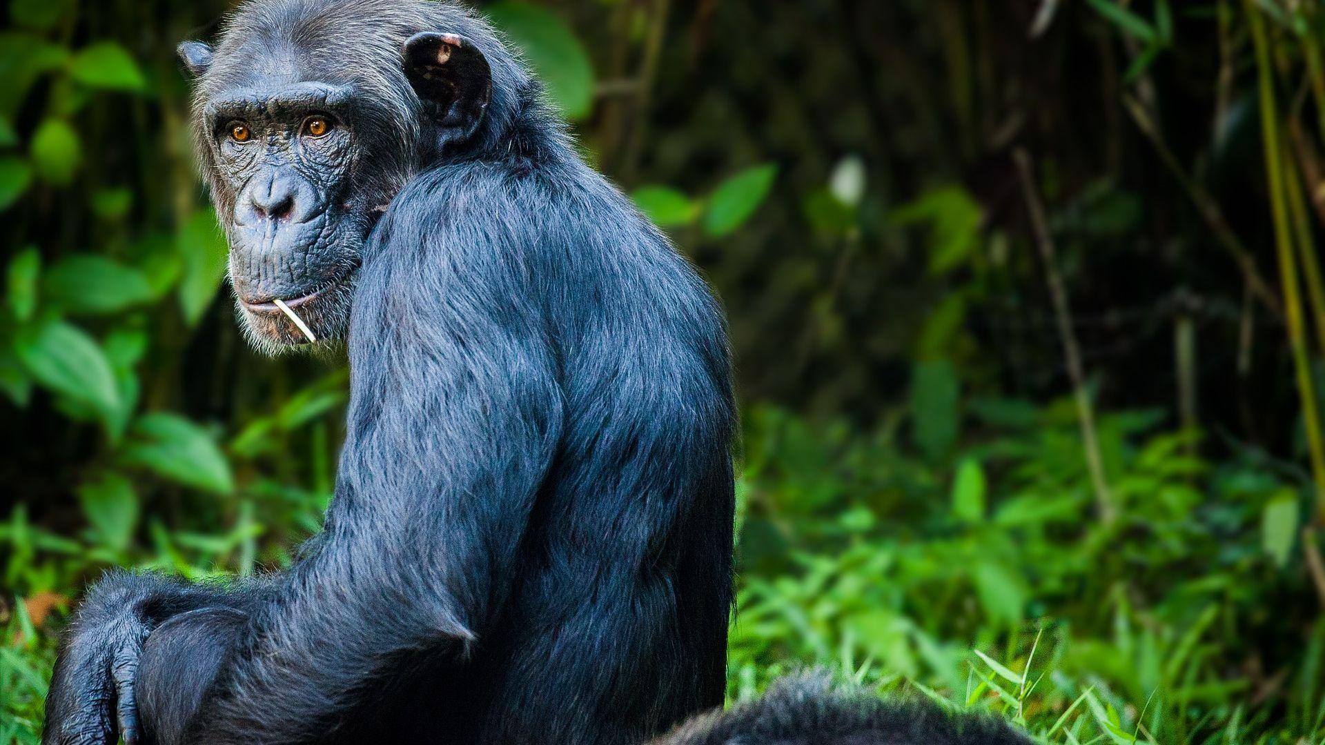 """Учени: Хората влияят """"деградиращо"""" на маймуните"""
