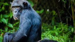 Откриха нова прилика между възрастните шимпанзета и хората
