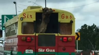 Танцуваща камила на US магистрала стана сензация в интернет (видео)