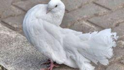 Пощенски гълъб беше продаден за 1,25 милиона евро на търг