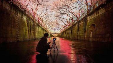 Розовият цвят на сакура отново завладя света