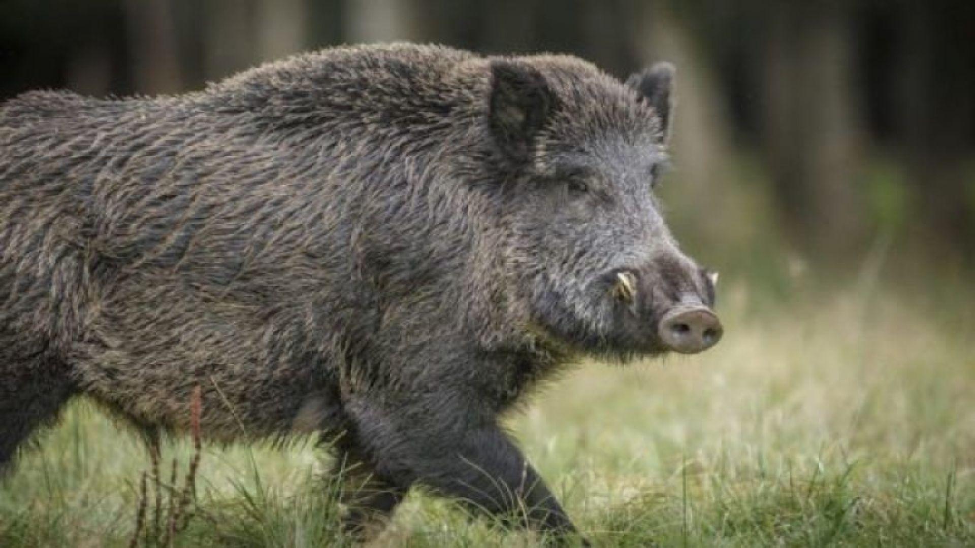 50 лева за отстреляна свиня, заразена с африканска чума?