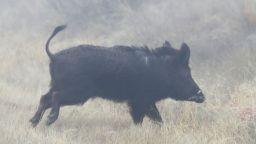 Нови случаи на Африканска чума при диви свине в Силистра и Добрич
