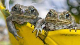 Опасни отровни жаби атакуваха Флорида (видео)