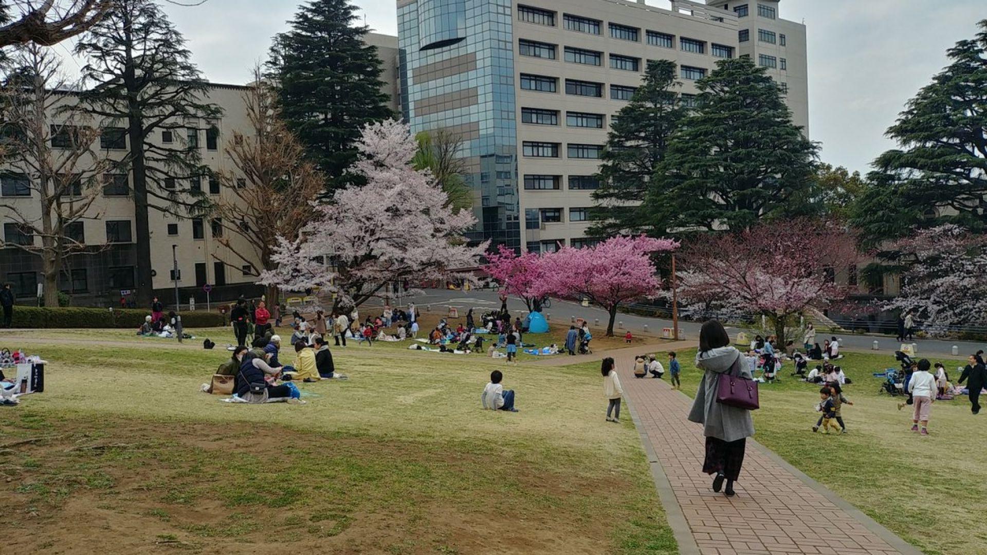 Глобалното затопляне  влияе на цъфтежа  на японските вишни