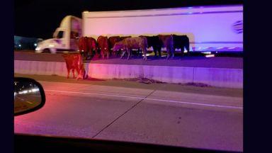 Хаос на канадска магистрала заради стадо крави