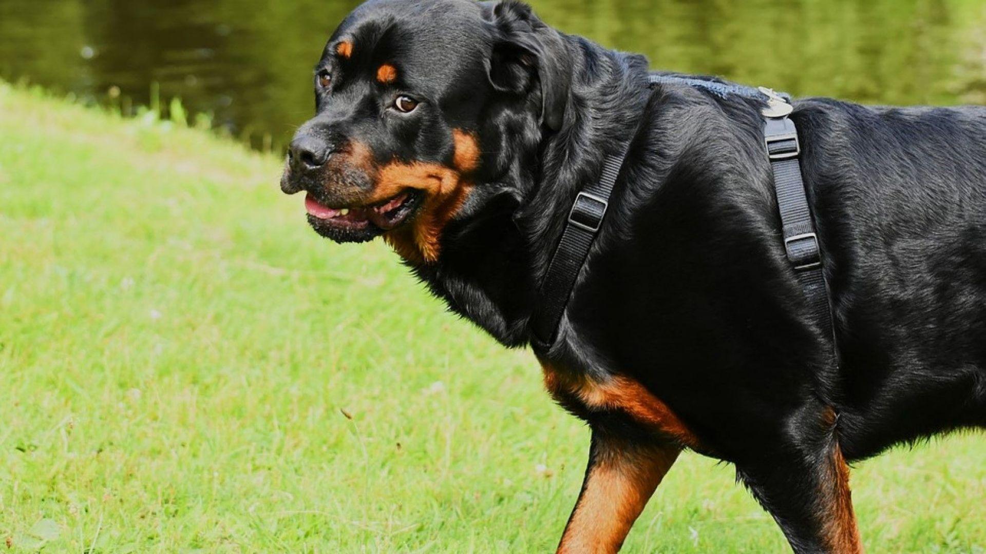 Дядото на нахапаните от ротвайлер деца: Жена напръска кучетата със спрей