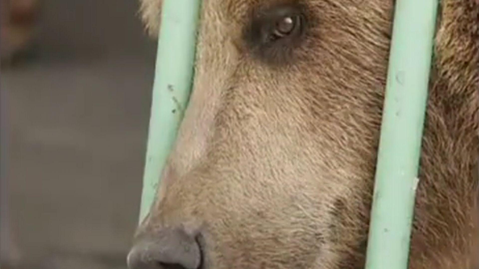Мечка излежава доживотна присъда в човешки затвор в Казахстан заедно
