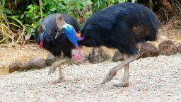 Продават на търг птицата казуар, която уби стопанина си