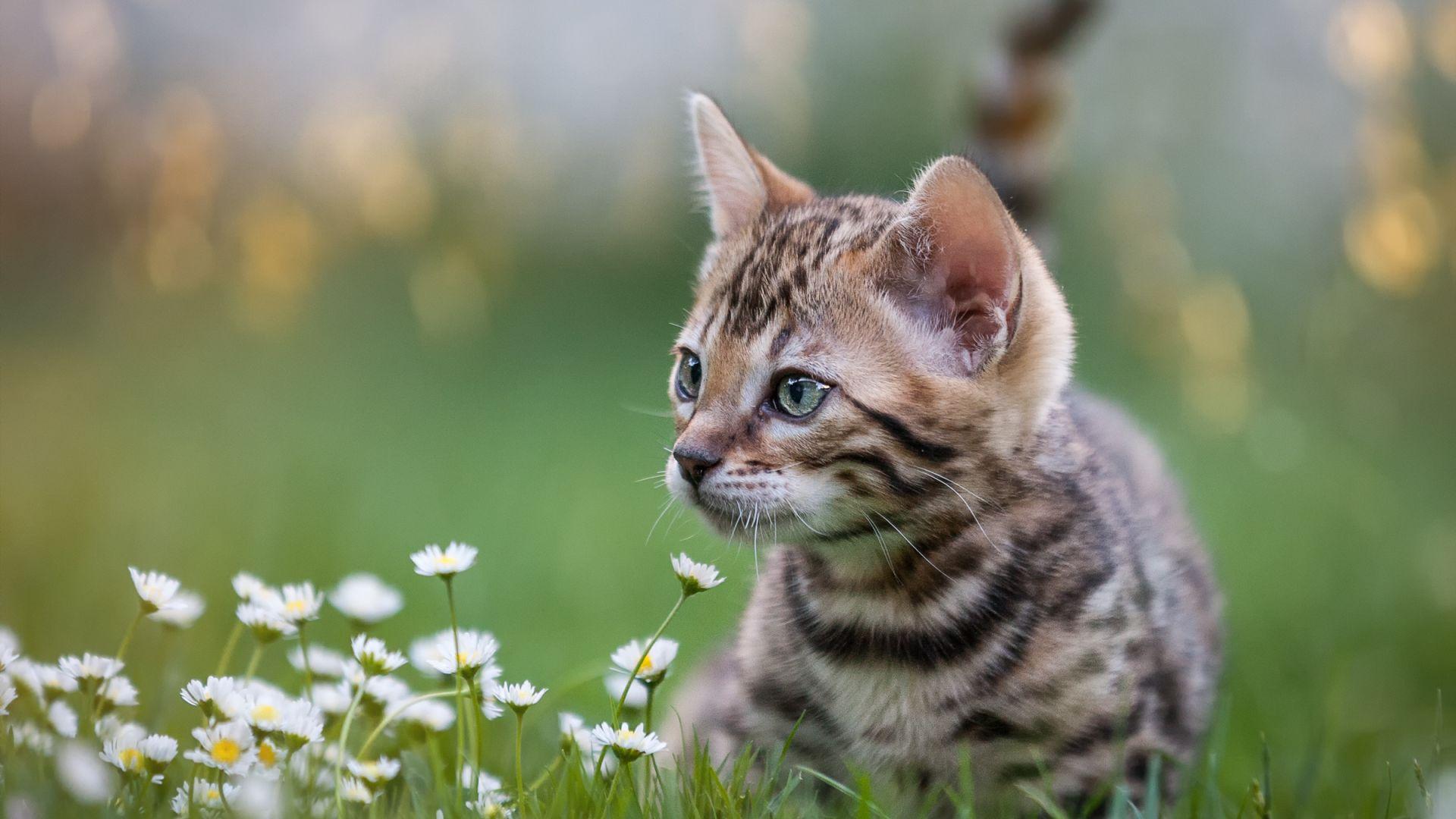 Котките се привързват към стопаните си като кучетата