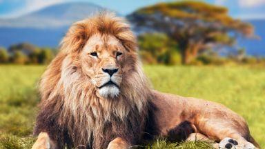 Гигантски лъвове, по-големи от сегашните 7 пъти, са живели в Африка