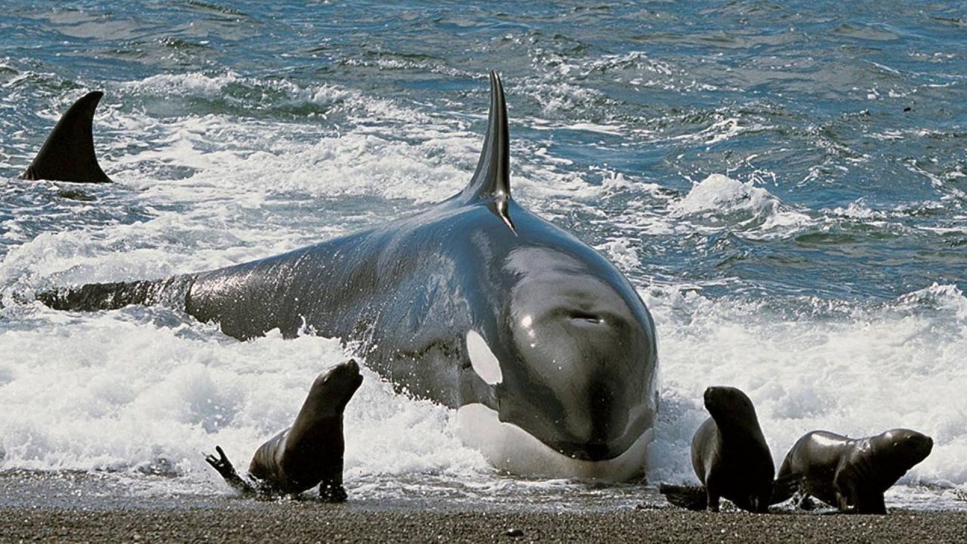 Косатките отнеха короната на големите бели акули като върховен морски