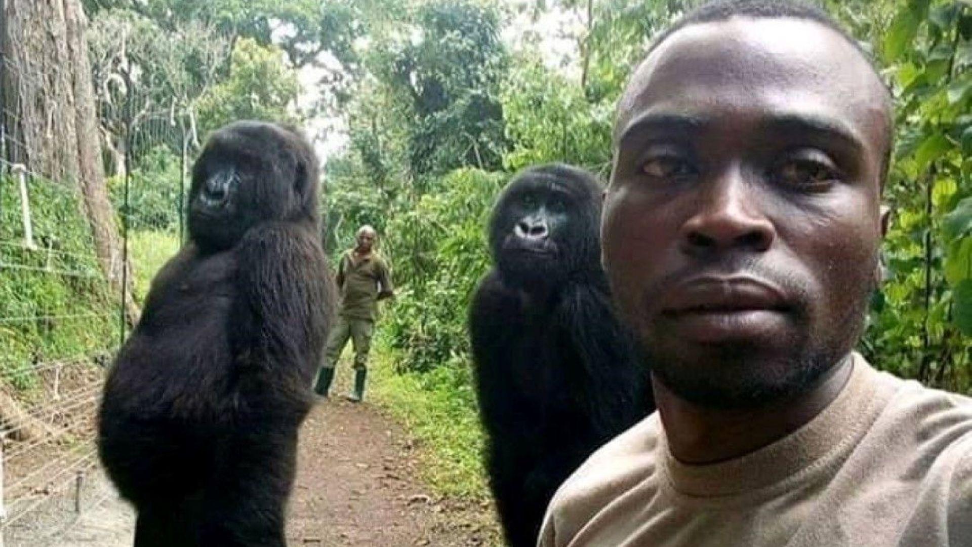 Две горили се появиха, позирайки спокойно, в селфи с рейнджърите,