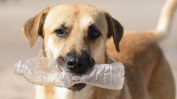 Куче-еколог събира пластмасови бутилки за рециклиране (видео)
