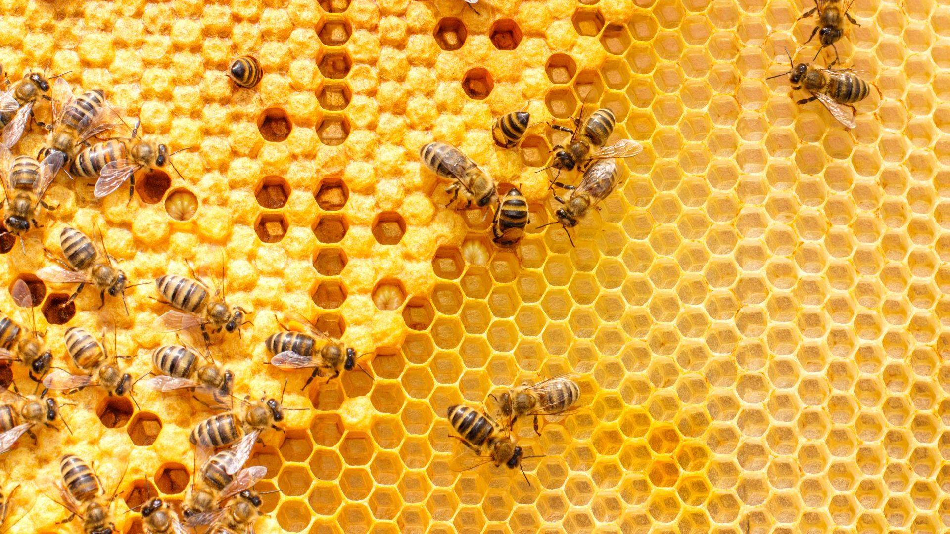 Пчелата – сладък мед, но тежък труд