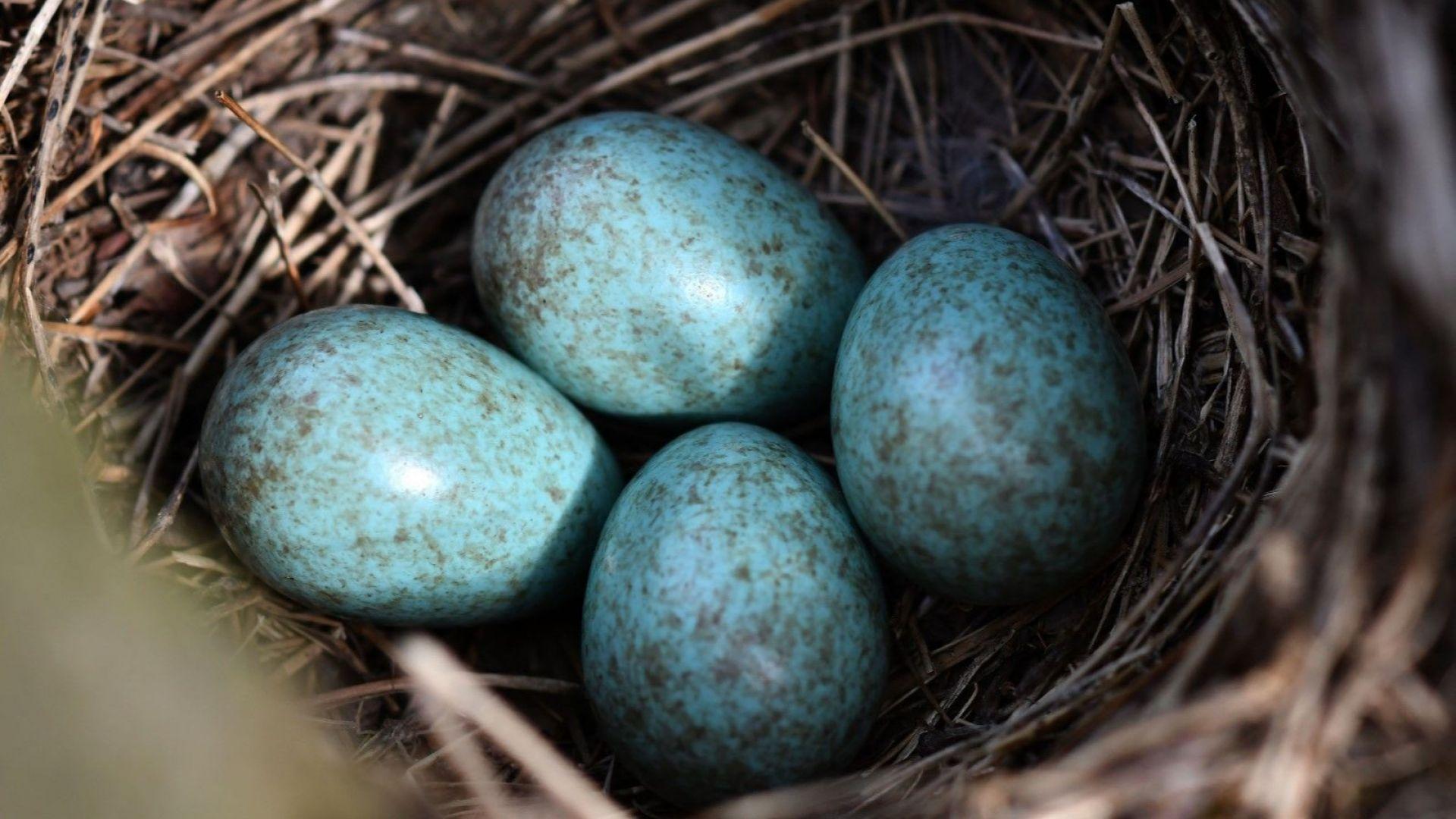 В гора край село Свещари, е забелязано гнездо със сини