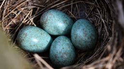 Гнездо със сини яйца край с. Свещари