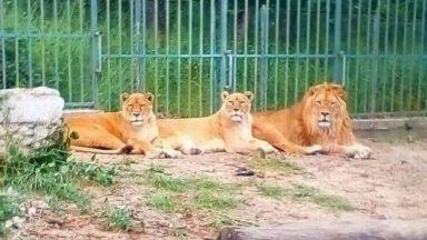 Новородените лъвчета в хасковския зоопарк починаха от премръзване