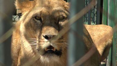 Шефът на зоокъта в Хасково пред Dir.bg: Второто лъвче се роди без присъствието на гледач