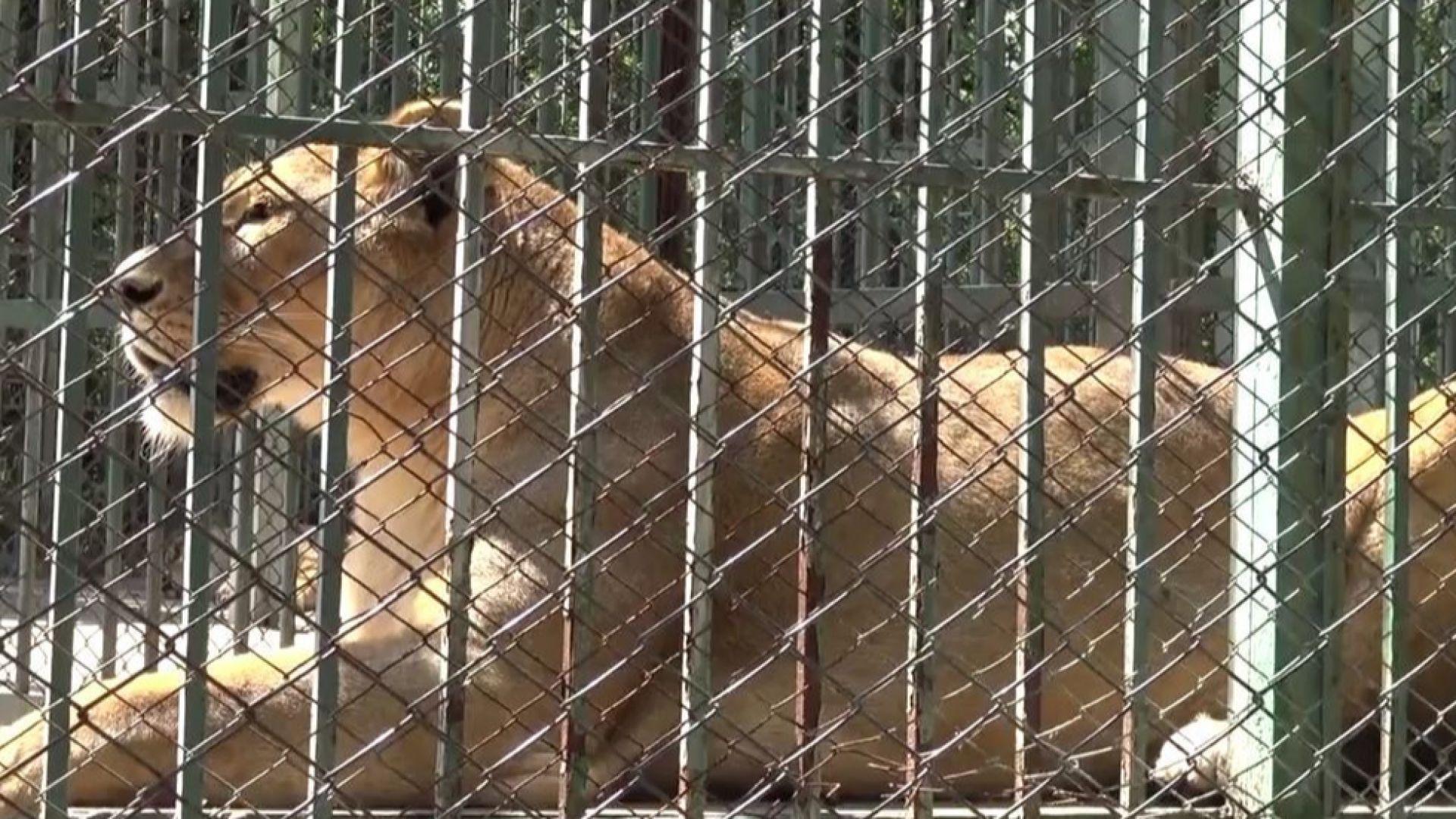 Явор Гечев: Лъвчетата можеше да бъдат спасени, изгубени са 24 фатални часа