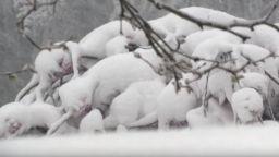 Сняг затрупа Корсика в средата на месец май (видео)
