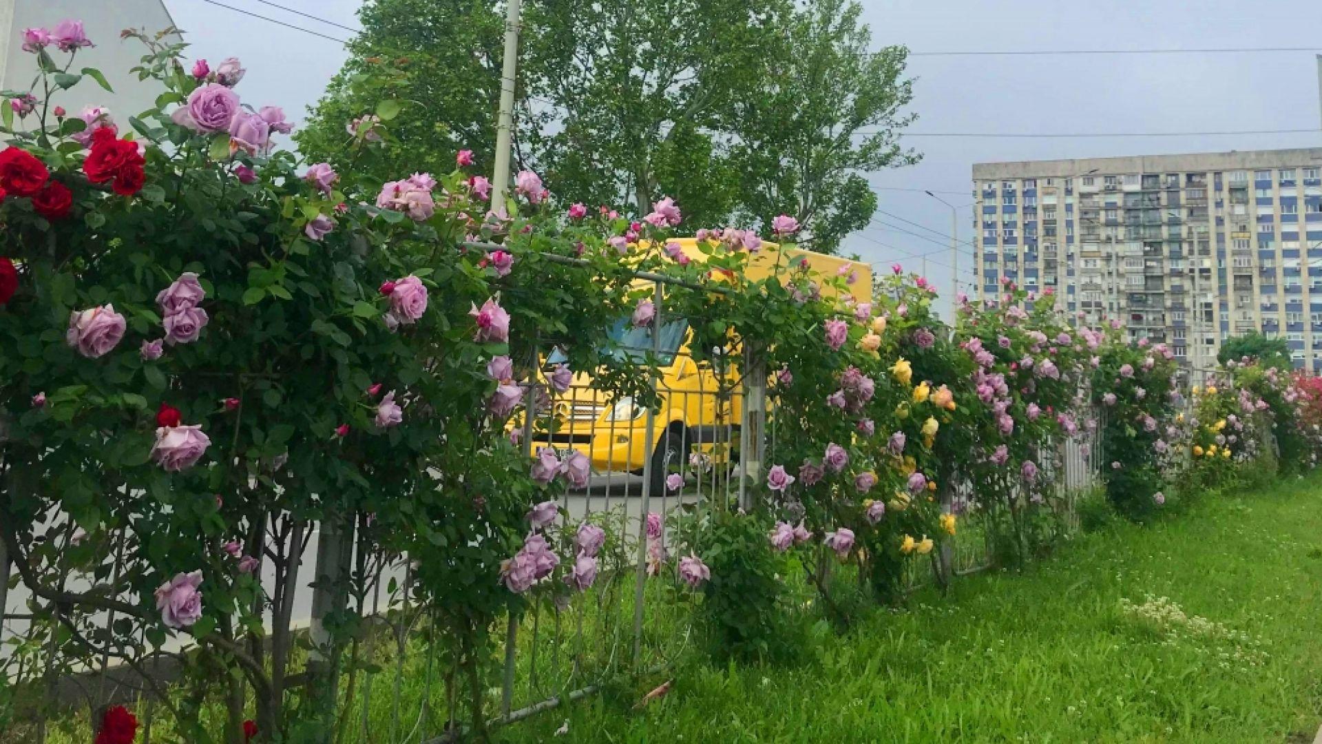 Красиви храстовидни рози красят русенския булевард