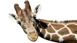 Как жирафите са придобили дългите си шии?