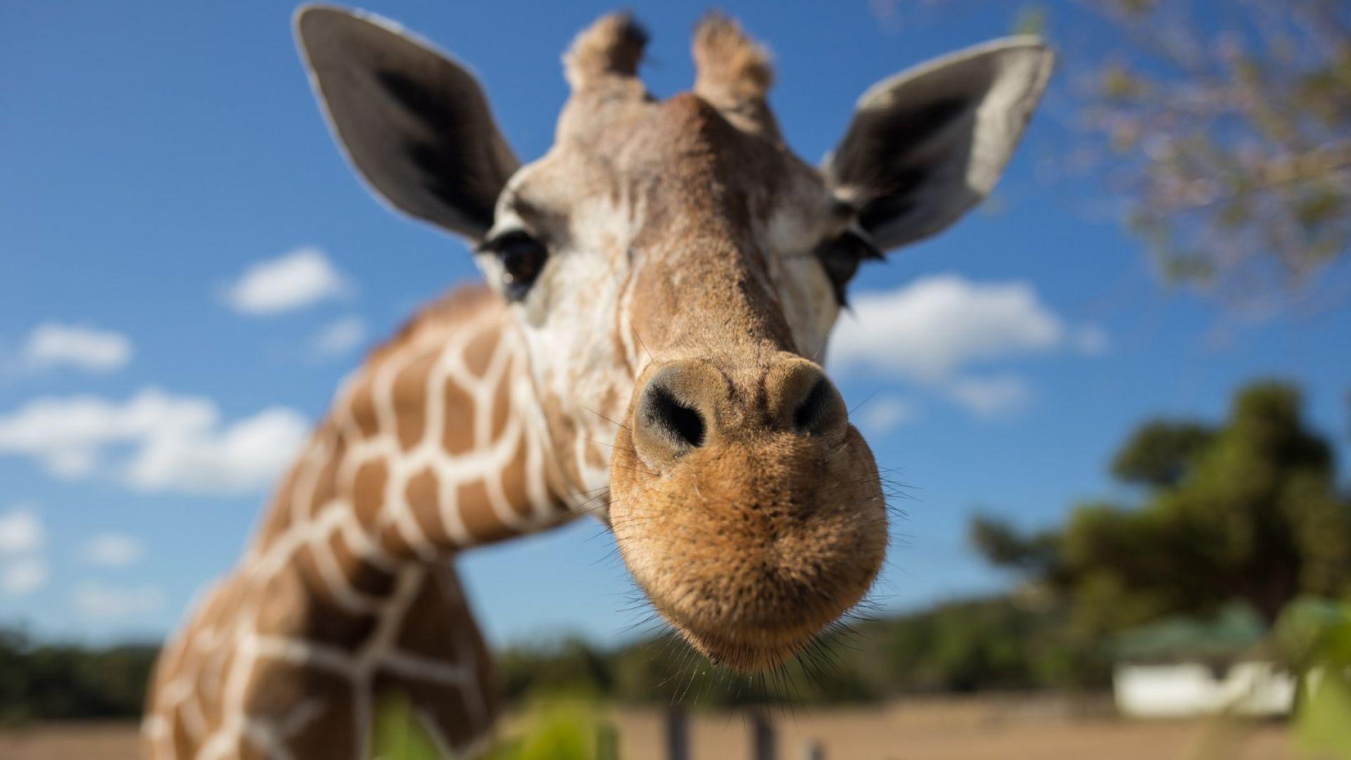 Най-възрастният мъжки жираф в Европа беше евтаназиран