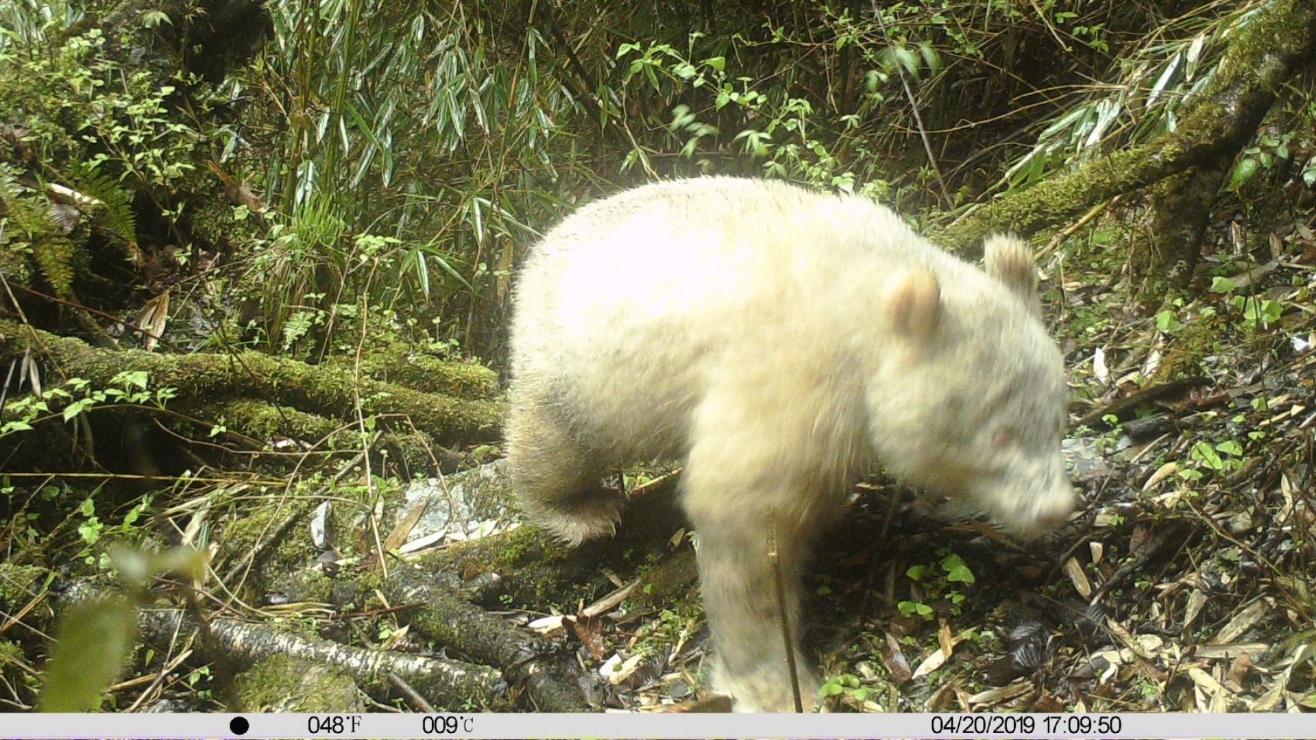 Уникална бяла панда е заснета с камера в природен резерват