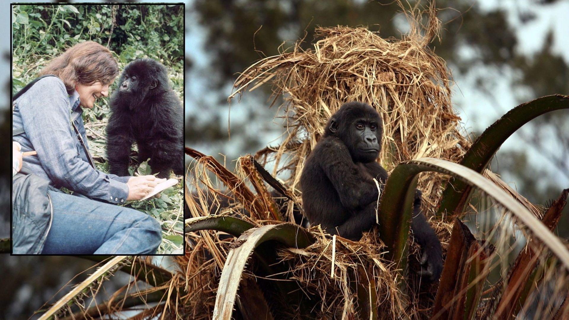"""Почина Попи - последната """"горила в мъглата"""" на убитата Даян Фоси (видео)"""