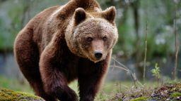 Мечка нападна и рани тежко ловец в Стара планина