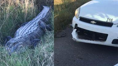 Алигатор отхапа парче от полицейска патрулка